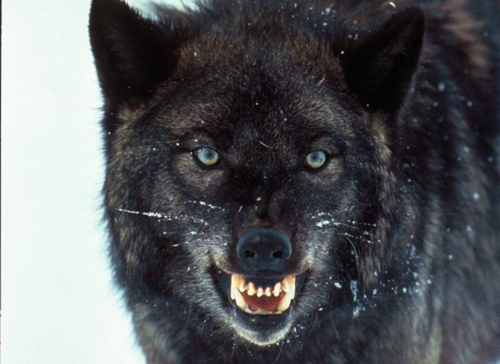 wolves_005